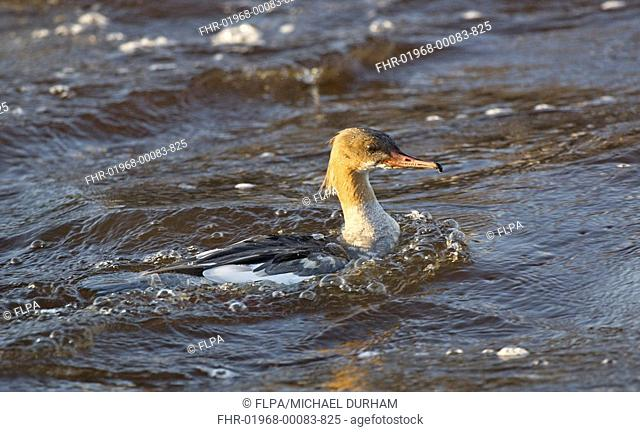 Goosander Mergus merganser adult female, fishing, swimming on river, River Nith, Dumfries and Galloway, Scotland, winter