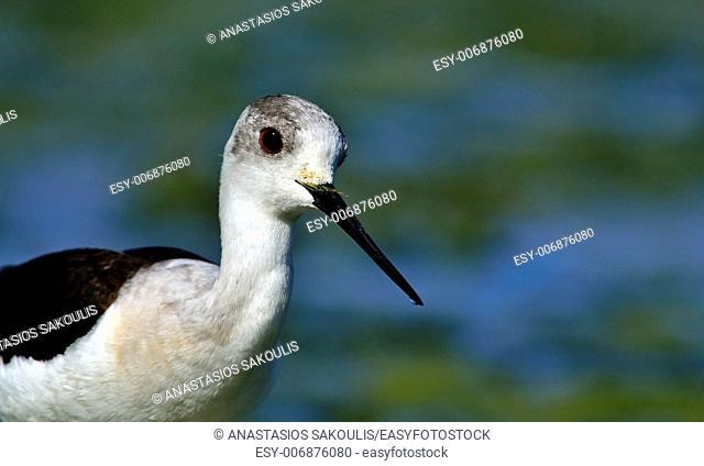 Black-winged Stilt - Himantopus himantopus at Agia lake, Crete, Greece
