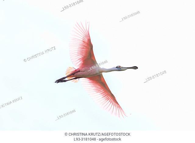 Roseate Spoonbill (Platalea ajaja) flying in the Pantanal region of Brazil