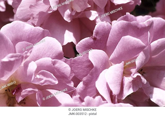 Petals of pink roses