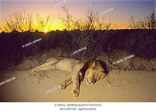 Lion (Panthera leo), sleeping at sunset. Kgalagadi Transfrontier Park, South Africa