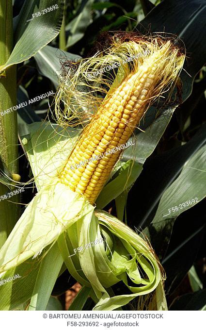 Corn field. Majorca. Balearic Islands. Spain