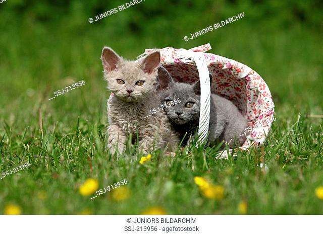 Selkirk Rex. Two kittens in a shopping basket on a meadow. Germany