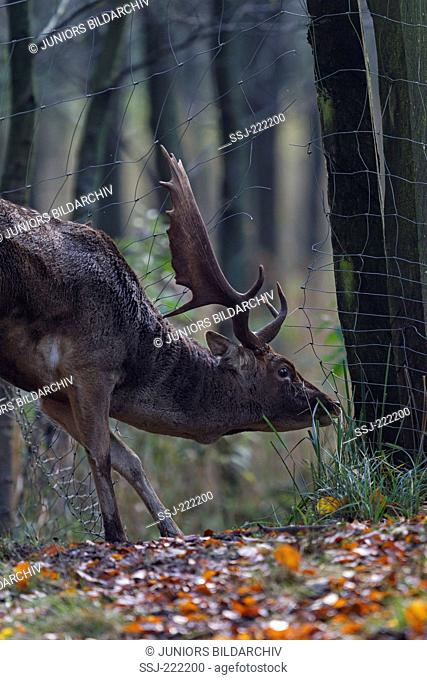 Fallow Deer (Dama dama), buck slips through hole in a veterinary fence, to get to its rutting ground, Westensee, Germany