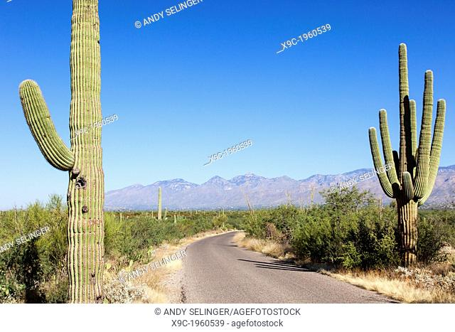 Giant Cacti in Saguaro N.P. , Arizona, USA