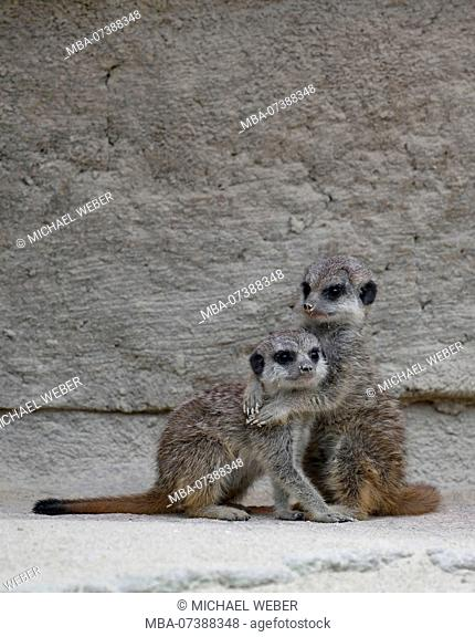 Meerkat, Suricata suricatta, young, 6 weeks old, cuddling, captive