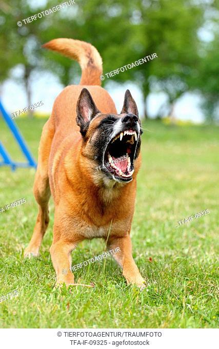 barking Malinois