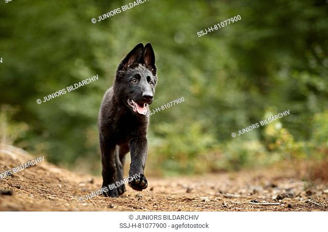German Shepherd, Alsatian. Black puppy walking in a forest. Germany