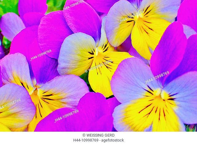 horned pansy, viola cornuta