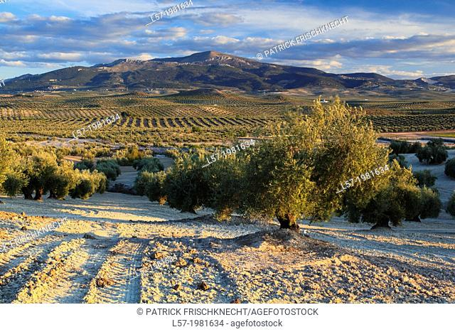 Olive grove, Spain