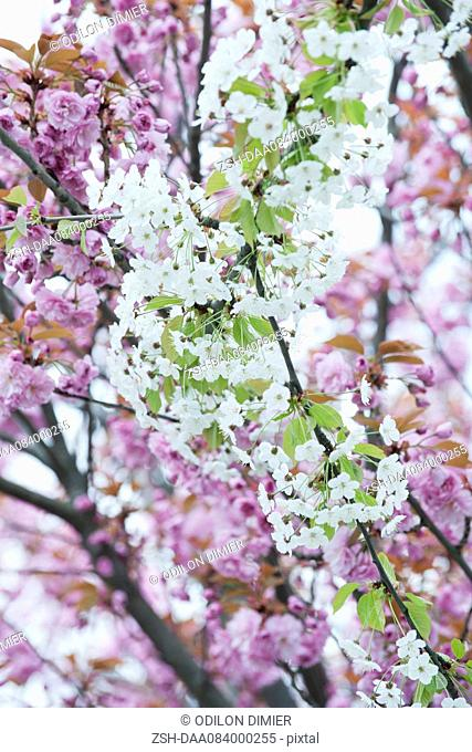Cherry branches in full bloom