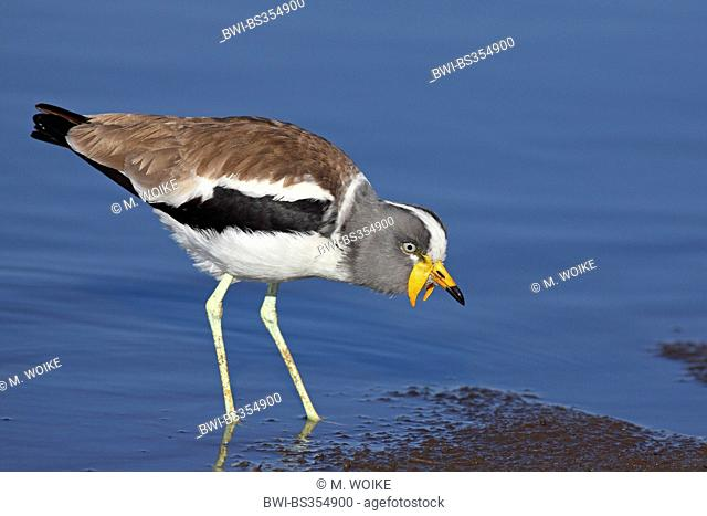 White-crowned wattled plover (Vanellus albiceps), looking for food in shallow water, South Africa, Kruger National Park