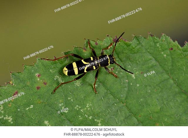 Wasp Beetle (Clytus arietis) adult at rest on leaf, Monmouth, Wales, September