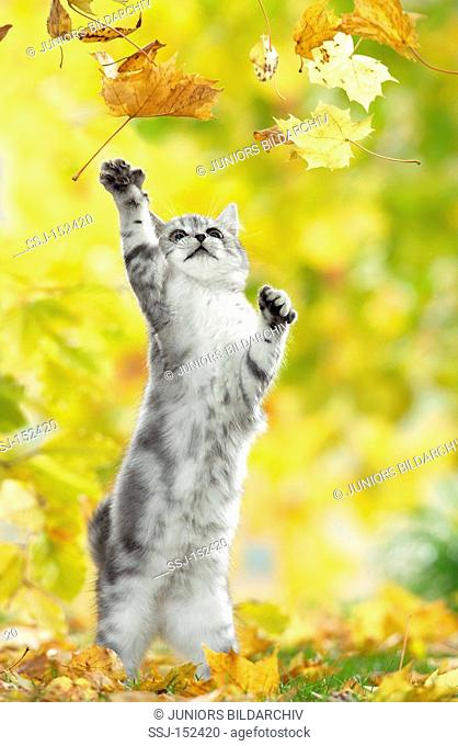 young British Shorthair cat - playing with foliage