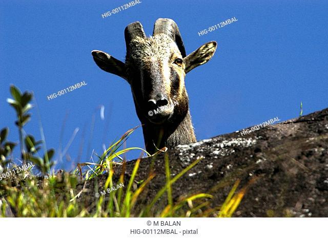 NILGIRI TAHR HEMITRAGUS HYLOCRIUS, MOUNTAIN GOATS OF WESTERN GHATS, ERAVIKULAM NATIONAL PARK MUNNA
