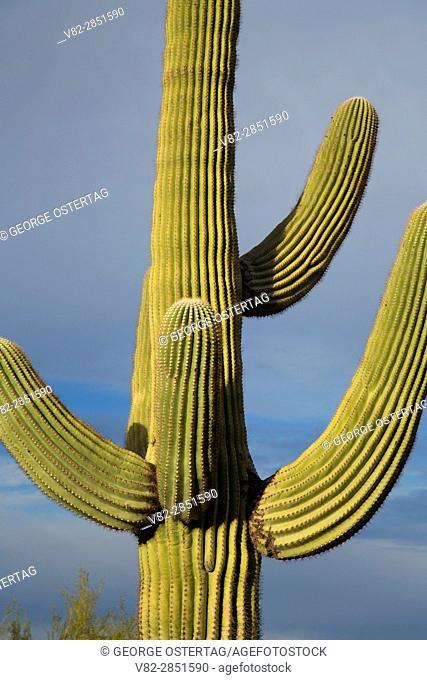 Saguaro, Picacho Peak State Park, Arizona