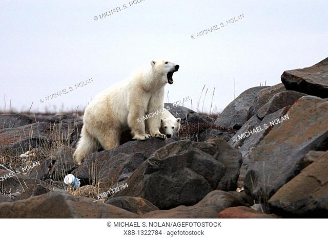 Mother and COY cub of year Polar Bear Ursus maritimus near Eskimo Point, outside Churchill, Manitoba, Canada