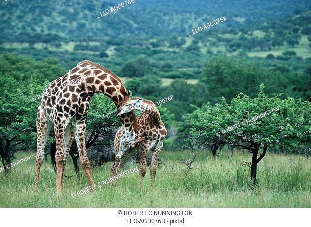 Caring Giraffe Giraffa camelopardalis Mother and Calf Standing in the Lush Green Bushveld  Hluhluwe Umfolozi Park, Kwa-Zulu Natal Province, South Africa