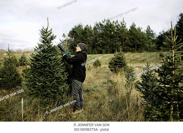 Man choosing tree in Christmas tree farm, Cobourg, Ontario, Canada