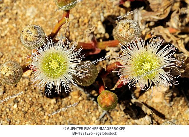 Flowering Ice Plant (Mesembryanthemum sp.) in its natural habitat, Aizoaceae, Mesembs, Goegap Nature Reserve, Namaqualand, South Africa, Africa