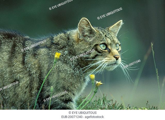 Scottish Wild Cat, Felis silvestris grampia. Cropped shot of single animal