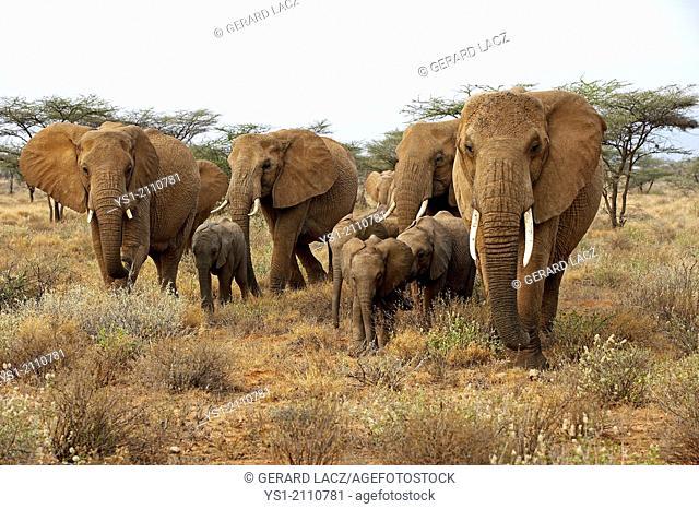 African Elephant, loxodonta africana, Herd in Masai Mara Park, Kenya