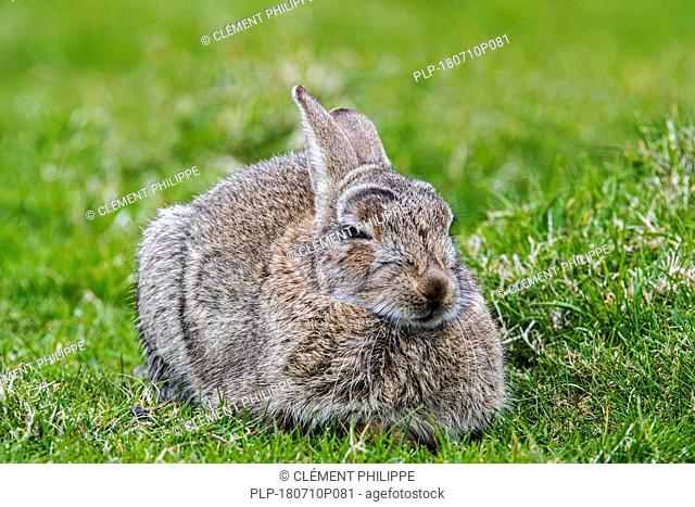 European rabbit (Oryctolagus cuniculus) lying down and resting in meadow