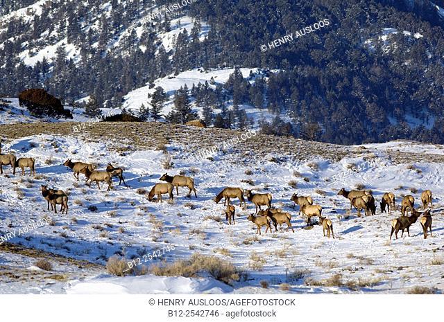 Elk, Wapiti Cervus canadensis, Yellowstone, USA