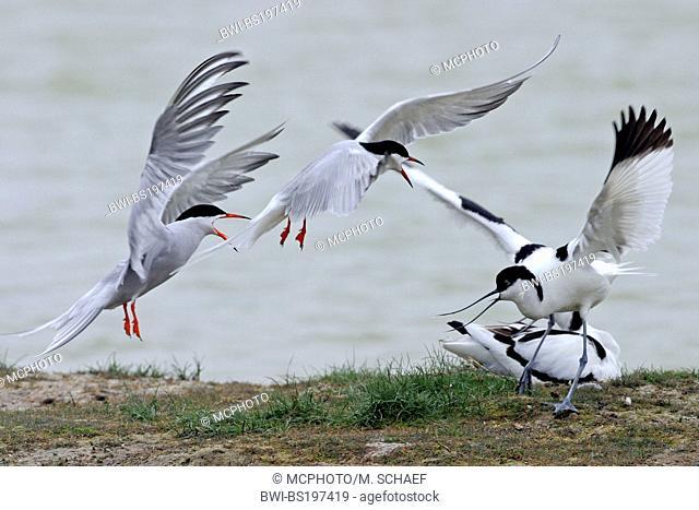 pied avocet (Recurvirostra avosetta), threaten to artic tern, Netherlands, Texel