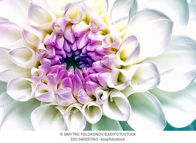 White dahlia flower. Abstract floral backgrounds