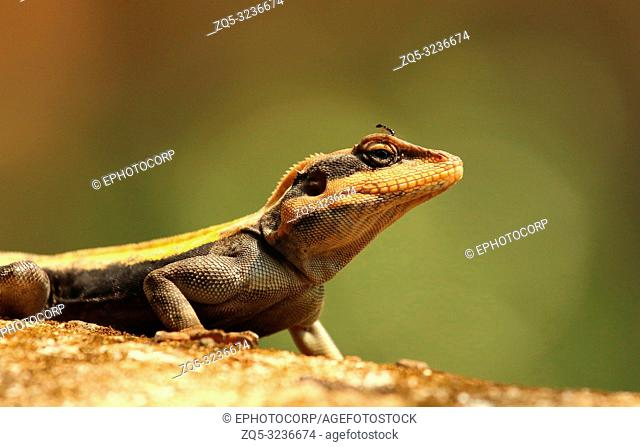 South Indian Rock Agama, Psammophilus dorsalis, Nandi Hills, Bangalore, Karnataka, India