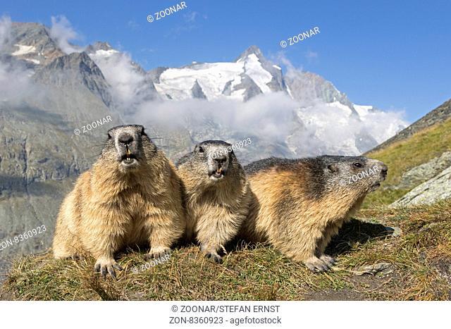 Alpenmurmeltier mit Großglockner, Hohe Tauern, Österreich, Europa / Alpine marmot in front of Großglockner, High Tauern National Park, Carinthia, Austria