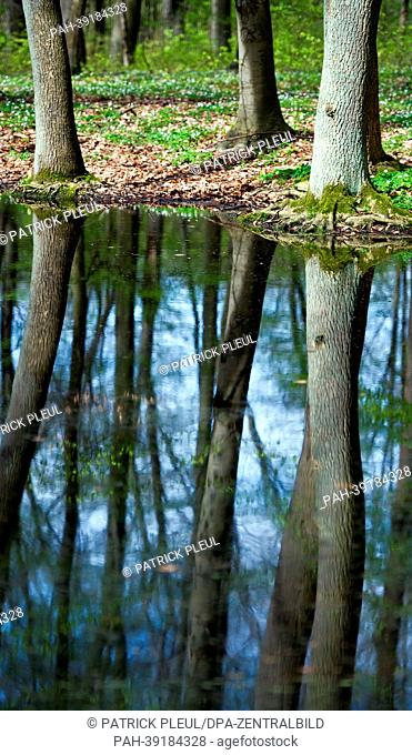 Trees are reflected in a pond in a beech forest in the World Heritage Site Grumsiner Forst near Altkuenkendorf, Germany, 30 April 2013