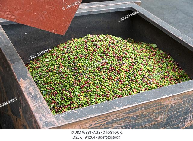 Captain Cook, Hawaii - Red and green coffee beans (coffee cherries) at the Royal Kona coffee roasting plant