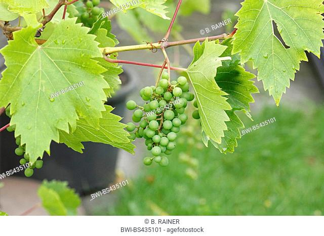 grapes of a white grape variety in the garden, Germany
