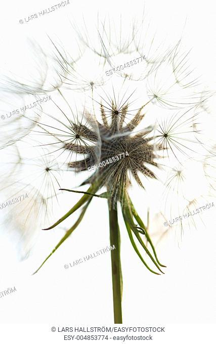 Macro shot of flower with soft flowerhead full of seeds