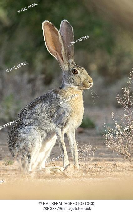 Antelope Jackrabbit (Lepus alleni) Southern Arizona