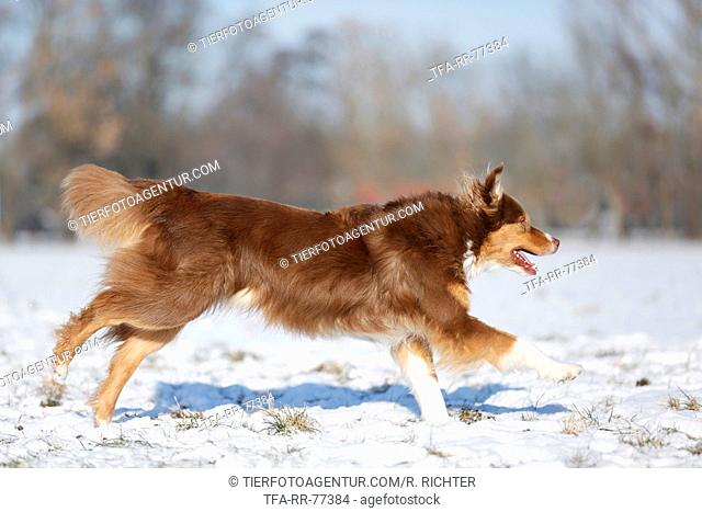 red tri Australian Shepherd in snow