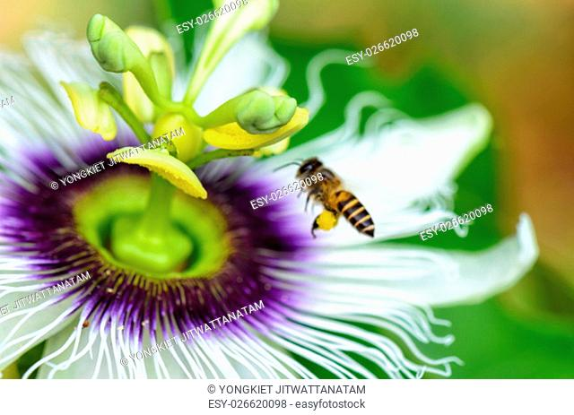 Exotic beautiful flower of Passiflora Foetida or Wild Maracuja and bee flying over it to find nectar and pollinate