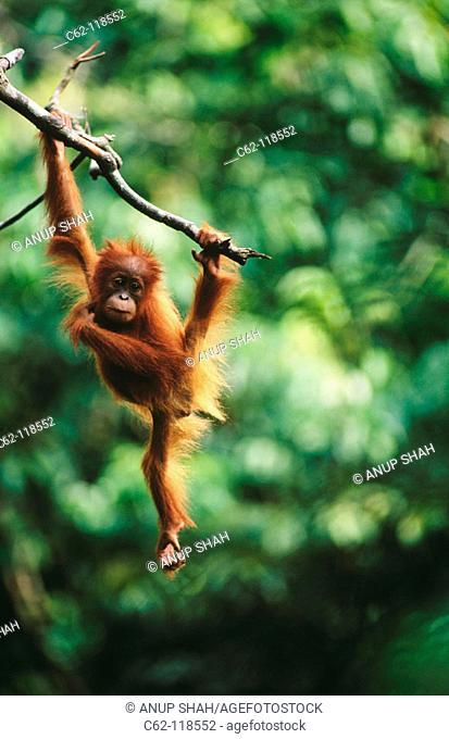 Young Orang-Utan (Pongo pygmaeus). Gunung Leuser National Park. Indonesia
