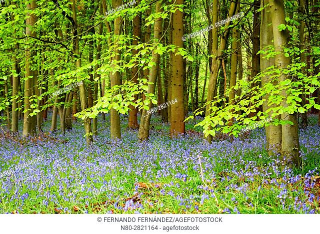 Bluebells. Forest. Pangbourne. Oxfordshire. England