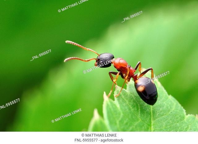 Four point ant Dolichoderus quadripunctatus