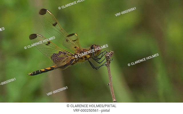 An immature male Calico Pennant (Celithemis elisa) dragonfly perches on low vegetation in spring