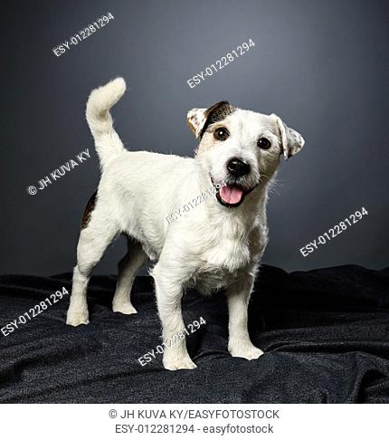 Cute adult Jack Russell terrier, five and half years old male - studio shot and gray background