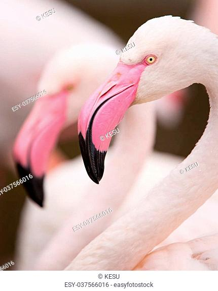 A close up portrait of a pink flamingo