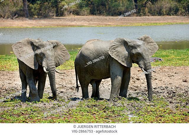 ZAMBIA, SOUTH, 01.10.2010, African Bush Elephant, Loxodonta africana, South Luangwa National Park, Zambia, Africa - South, Zambia, 01/10/2010