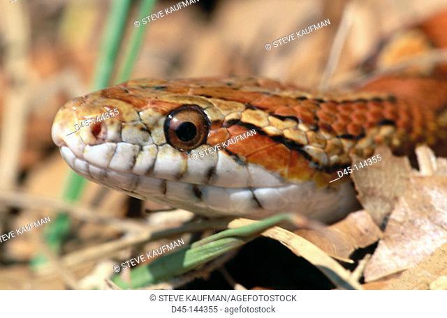 Corn Snake (Elaphe guttata guttata). Florida. USA