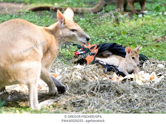 Six-month-old Monti the sandy wallaby eating with his father (front) at his first communal dining experience with other wallabies in the kangaroo enclosure at...