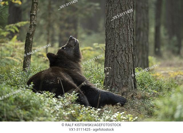 European Brown Bear / Europaeischer Braunbaer (Ursus arctos ) lies on the ground in the srub of a natural forest, looks up a tree