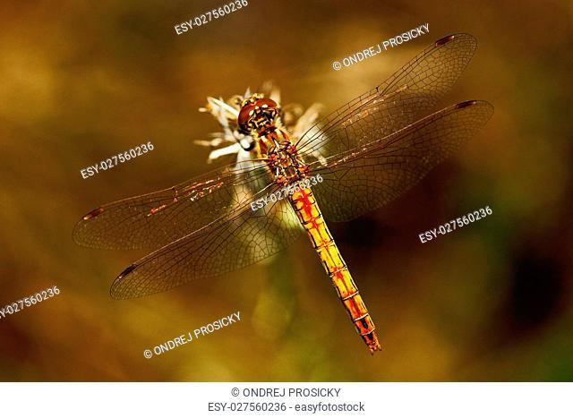 Common Darter, Sympetrum striolatum. Macro picture of dragonfly